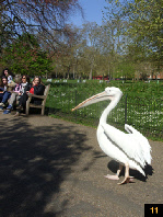 Pelican in London park